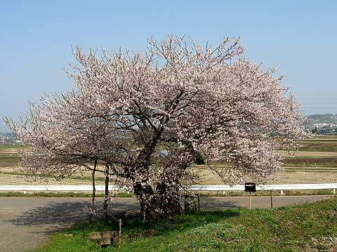 飯綱町黒川のエドヒガンザクラ -信州の旅.com-