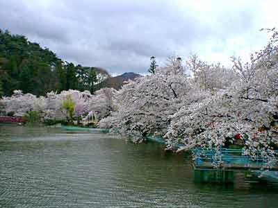 蔵の町 臥竜公園 須坂市 −信州の旅.com− 臥竜公園の桜 須坂市 臥竜公園の満開の桜並木を楽
